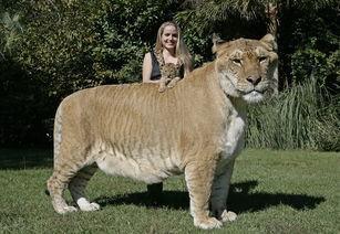 世界最大的狮虎兽亮相美国