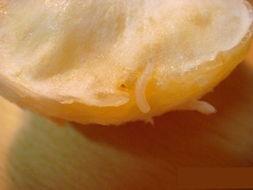 四川回应柑橘生蛆 柑橘缺乏管理 未销往外地