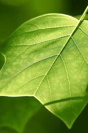 用于养花的绿叶素是什么物质