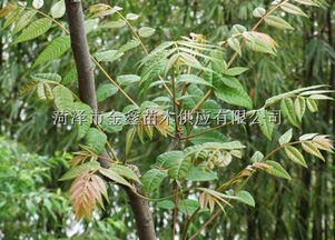 香椿树苗供应
