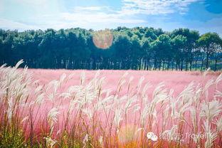 上海惊现粉色草海,梦幻如仙境