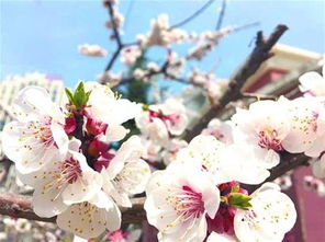 二十四番花信风都有哪些花