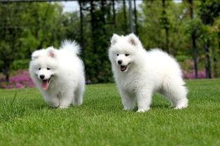 小的白色牧羊犬多少钱