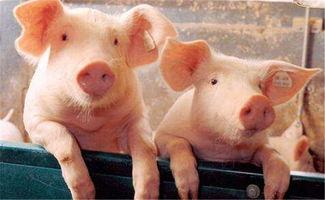 猪的交拍知识