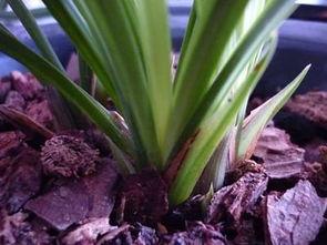 柳树皮和松树皮哪个养花好