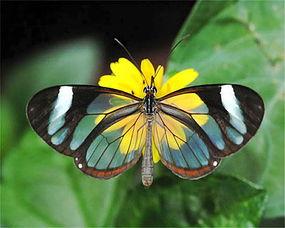 透明的蝴蝶 文图