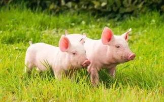 属鸡猪今结婚日子