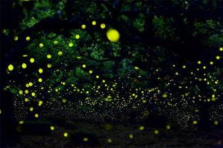 最美丽的灯火 不是都市的霓虹,而是夏天在山村黑夜里闪烁的萤火