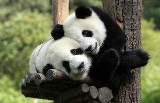 呆萌呆萌的大熊猫!-动物恩爱浪漫瞬间