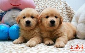 上海哪里有卖金毛上海金毛价格上海金毛买卖上海金毛多少钱金毛图片金毛幼犬