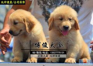 【东莞售纯种金毛导盲犬 聪明温顺大头好品相金毛的图片】-东莞 西城易登网