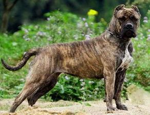 怎么训练大丹犬护卫能力?