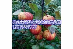 4公分玉露香梨树苗梨树种苗价格