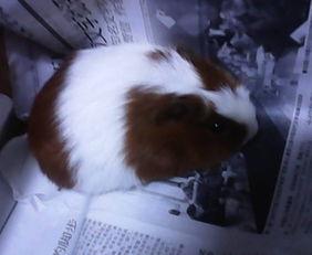 宠物英文名 一只公的小荷兰猪
