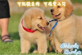 【上海宠物价格_金毛幼犬_健康纯种_价格_上海多少钱_金毛价格图片】-黄页88网
