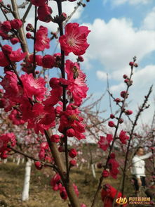 这个春天咋个 花 安州 七里 赏桃花
