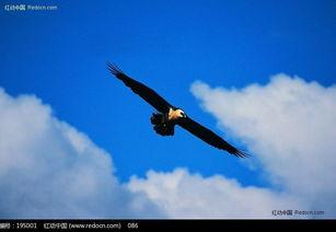 飞翔在蓝天的鹰图片免费下载 红动网
