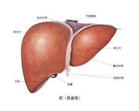 肝的位置图(肝脏在身体那个位置)