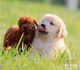 金毛幼犬多少钱一只金毛犬图片 金毛聪明吗 金毛幼犬