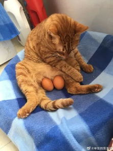猫咪的蛋蛋是红色的