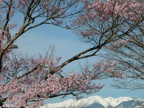 关于樱花唯美古风诗句