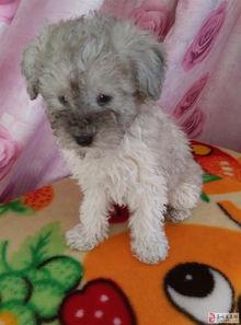 家养灰泰迪幼犬出售