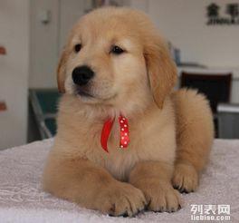 金毛幼犬销售 纯种金毛幼犬销售 金毛幼犬价格
