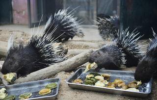 2月1日,天津动物园的豪猪在吃饺子.
