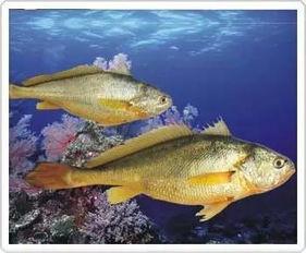 这种鱼就是大头鲤,和鲤鱼同属一类的淡水鱼,虽然和普通鲤鱼同属一类,但是大头鲤不论是生活习惯,还是食用价值和营养价值,都是普通鲤鱼无法比拟的.