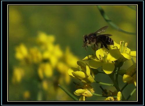 关于油菜花与蜂的诗词