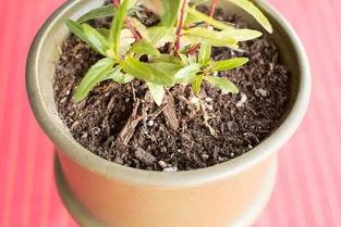 红豆能养花吗