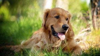 金毛犬的寿命有多长 5大招延长生命