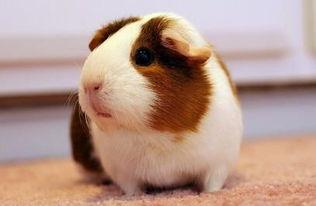 养荷兰鼠的危害(荷兰猪的尿有毒吗)