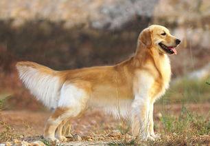 最全狗狗分类,运动犬类详细介绍
