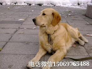 金毛犬价格金毛犬图片金毛幼犬价格