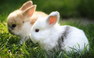 如何饲养兔子?兔子吃什么?
