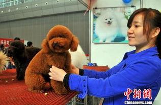 新疆藏獒展 配角也精彩 各类名犬展魅力