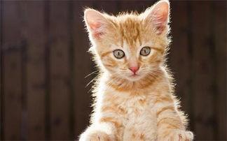 2个月猫癣怎么治好得快,幼猫猫癣怎么治好得快