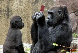 搞笑 两只猩猩为NDS做的免费广告