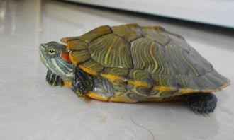 乌龟怎么养花纹好看