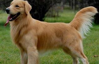 金毛犬是比较现代并很流行的狗的品种,毛色通常为奶油色和各种金黄色