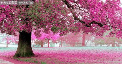 唯美樱花美景图片