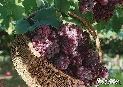 宁夏葡萄都有哪些