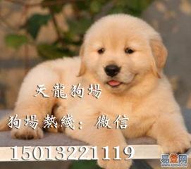 【纯种金毛幼犬英系美系金毛寻回犬纯种大头宽嘴金毛幼犬的图片】-罗湖 国贸易登网