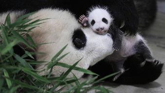 心都萌化了 图片记录大熊猫宝宝百变萌态
