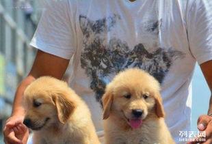 自家的小金毛幼犬来找新家啦三摆带走不纯白送