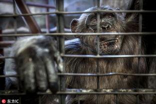 图揭泰国旅游业黑暗真相 动物成 困兽 惨不忍睹
