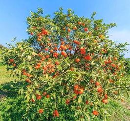 桔树的风水禁忌