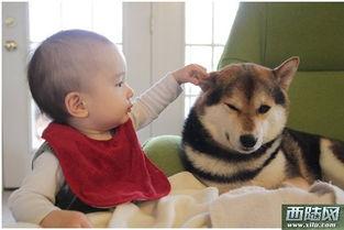 人心 生活 记录 宝宝 日本女子记录宝宝与柴犬生活萌照 融化人心 图 环宇趣闻