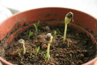 养花去除土里的虫子
